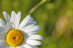 Chamomile garden. white flowers of Russian chamomile daisy. Beautiful nature scene with blooming medical chamomilles in sun flare. Chamomile garden. white stock images
