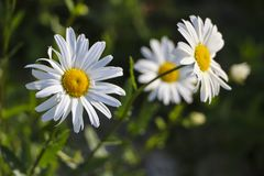 Chamomile garden. white flowers of Russian chamomile daisy. Beautiful nature scene with blooming medical chamomilles in sun flare. Chamomile garden. white stock photos