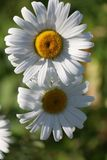 Chamomile garden. white flowers of Russian chamomile daisy. Beau. Tiful nature scene with blooming medical chamomilles. Alternative medicine Spring Daisy. Summer royalty free stock photography