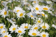 Chamomile garden. white flowers of Russian chamomile daisy. Beau. Tiful nature scene with blooming medical chamomilles. Alternative medicine Spring Daisy. Summer stock image