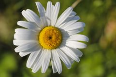 Chamomile garden. white flowers of Russian chamomile daisy. Beautiful nature scene with blooming medical chamomilles in sun flare. Chamomile garden. white royalty free stock photo