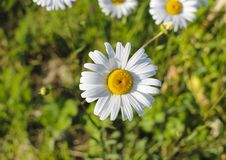 Chamomile garden. white flowers of Russian chamomile daisy. Beautiful nature scene with blooming medical chamomilles in sun flare. Chamomile garden. white royalty free stock photos