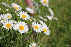 Chamomile garden. white flowers of Russian chamomile daisy. Beau. Tiful nature scene with blooming medical chamomilles. Alternative medicine Spring Daisy. Summer royalty free stock photo