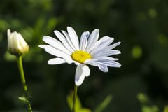 Chamomile garden. white flowers of Russian chamomile daisy. Beautiful nature scene with blooming medical chamomilles in sun flare. Chamomile garden. white stock photography