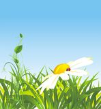 Chamomile and grass Royalty Free Stock Photography