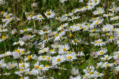 Chamomile and grass Stock Photos