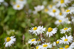 Chamomile and grass Stock Images