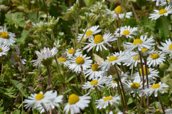 Chamomile and grass Stock Photography