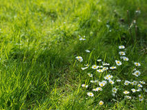 Chamomile in a grass close-up Royalty Free Stock Image