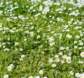 Chamomile in a grass close-up Royalty Free Stock Photos