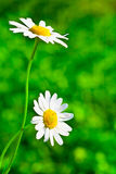 Chamomile on green abstract background Royalty Free Stock Photo