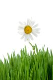 Chamomile and green grass Royalty Free Stock Photos