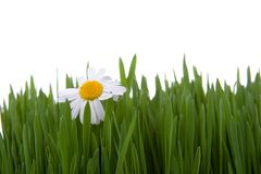 Chamomile and green grass Royalty Free Stock Photo