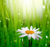 Chamomile in green grass Stock Images