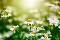 Chamomile in green grass Royalty Free Stock Photos