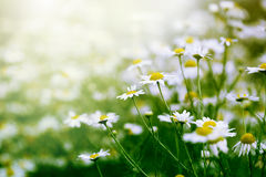Chamomile in green grass Stock Image