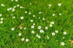 Chamomile at green grass. Stock Images