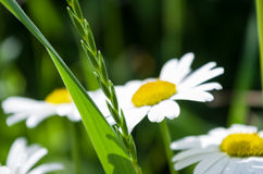 Chamomile and green grass. In the field Stock Photo