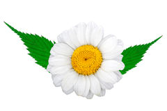 Chamomile with green leafs Royalty Free Stock Photo