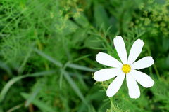 Chamomile growing outdoors in the garden. Beautiful white daisy flower on green grass. How to grow camomile herb. Beautiful single camomile growing outdoors on Royalty Free Stock Image