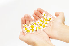 Chamomile in hands Stock Photo