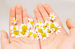 Chamomile in hands. Fresh chamomile flowers in hands Royalty Free Stock Photo
