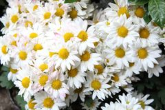 Chamomile is a powerful flower that gives us nature for different medicinal and aesthetic purposes. Chamomile has different uses in alternative medicine. It is royalty free stock photography