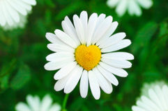 Chamomile heart. Camomile heart in green background. Flower symbol of love Royalty Free Stock Images