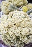Chamomile herb Stock Image
