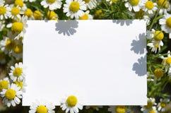 Chamomile i biała deska Obraz Stock