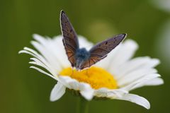 Chamomile i motyl Fotografia Stock