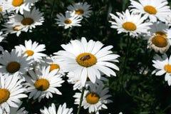 Chamomile i trädgården Royaltyfria Bilder