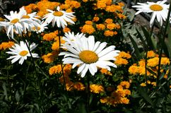 Chamomile i trädgården Royaltyfri Foto