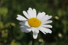 Chamomile and insects Stock Images