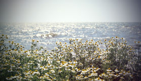 Chamomile. Interpretation of a dream in which you saw «Chamomile Stock Image