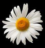 Chamomile isolated on black background. Close-up view Royalty Free Stock Image