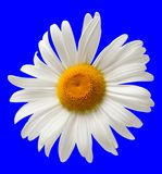 Chamomile isolated on blue background Stock Photos