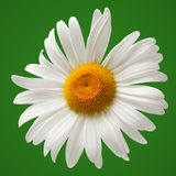 Chamomile isolated on green background Stock Photos