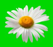 Chamomile isolated on green background Stock Photo