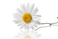 chamomile isolerad white royaltyfria bilder