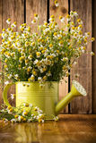 Chamomile. Stock Images