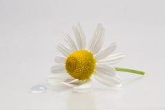Chamomile kropla i kwiat Fotografia Stock