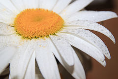 chamomile krople Fotografia Royalty Free