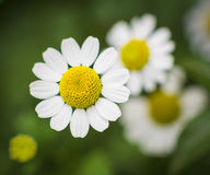 chamomile kwiat Obraz Royalty Free