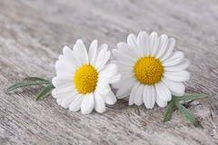 Chamomile kwiat Zdjęcie Royalty Free