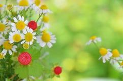 Chamomile kwiat Zdjęcia Royalty Free