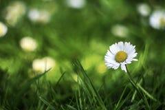 Chamomile kwiat w pięknej łące Obraz Royalty Free