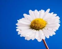 Chamomile kwiat z wodnymi kroplami Fotografia Stock