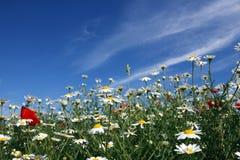 Chamomile kwiatu łąka Obrazy Stock