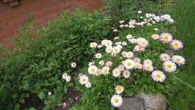 Chamomile kwiatu kiwanie w wiatrze Piękny kwiat w ogródzie huśta się w wiatrze zdjęcie wideo